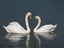 Deux cygnes formant un coeur Photographie stock libre de droits