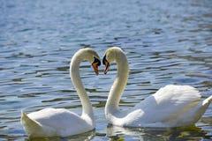 Deux cygnes forment une forme de coeur d'amour avec leurs cous Photos stock