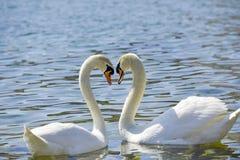 Deux cygnes forment une forme de coeur d'amour avec leurs cous Photo libre de droits