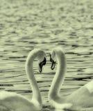 Deux cygnes forment une forme de coeur d'amour avec leurs cous, ohrid de lac, Macédoine Images stock