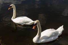 Deux cygnes muets sur l'eau Images libres de droits
