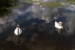 Deux cygnes muets sur l'eau Photos libres de droits
