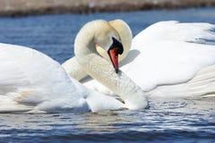 Deux cygnes nageant Photos libres de droits