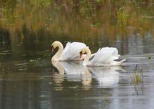 Deux cygnes nageant sur le lac Photo libre de droits