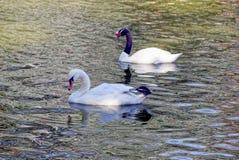 Deux cygnes nagent le long de l'étang un jour ensoleillé photographie stock