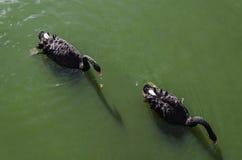 Deux cygnes noirs Photos libres de droits