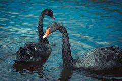 Deux cygnes noirs Image libre de droits