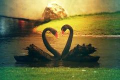 Deux cygnes noirs créant de manière romantique ensemble une forme de coeur dessus Photos stock