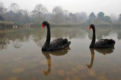 Deux cygnes noirs dans une eau Photos stock