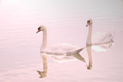 Deux cygnes ont réfléchi sur le lac Photographie stock libre de droits