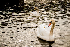 Deux cygnes sur l'eau Photographie stock libre de droits