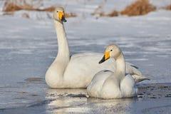 Deux cygnes sur le lac congelé Photographie stock libre de droits