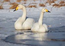 Deux cygnes sur le lac congelé Photos stock
