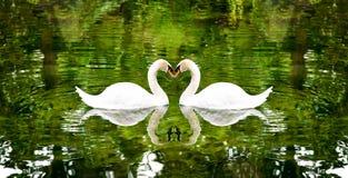 Deux cygnes sur un lac entouré par des arbres Images libres de droits
