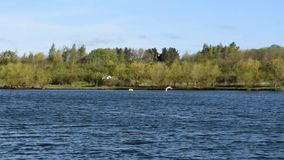 Deux cygnes volant au-dessus du lac dans le mouvement lent banque de vidéos