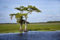 Deux Cypress sur la rivière de St Johns images stock