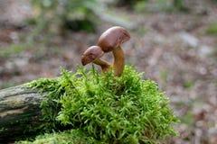 Deux dans des champignons d'amour, guéris pour toujours, dans la forêt Image stock