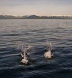 Deux dauphins dégrossis noirs Photo libre de droits