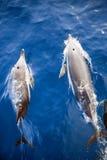 Deux dauphins d'en haut Image stock