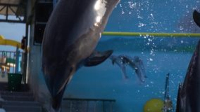 Deux dauphins dans le rebond de piscine et le piqué dans l'eau Mouvement lent banque de vidéos