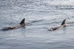 Deux dauphins de Bottlenose de yongs nagent en Mer Rouge photos stock