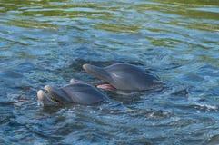 Deux dauphins en baie, dans la perspective de éclabousse et eau de mer photographie stock libre de droits