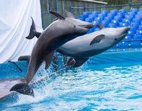 Deux dauphins sautant dans la piscine images stock
