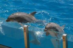Deux dauphins sur la vue de l'eau Photographie stock