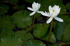 Deux de fleurs de lotus dans l'étang images libres de droits