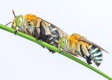 Deux de l'abeille de coucou Photo libre de droits