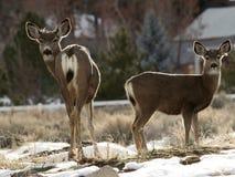 Deux dears de mule image stock
