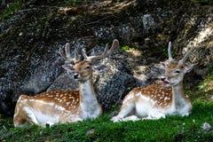 Deux dears s'étendant par la montagne rocheuse photographie stock