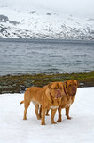 Deux Dogues de Bordeaux contre le glacier, montagnes d'été, Norvège Image libre de droits