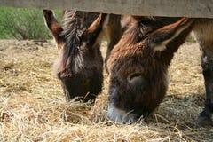 Deux donkies Photos libres de droits