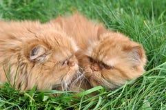 Deux du même chat rouge image stock