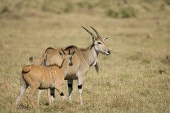 Deux Eland sur le masai Mara Image stock
