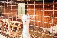 Deux enfants blancs chèvre animale curieuse image stock