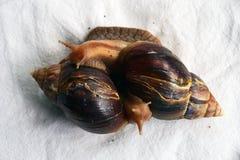 Deux escargots Akhtina sur des nappes Photos libres de droits