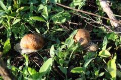 Deux escargots au sol Image stock
