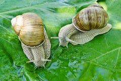 Deux escargots boivent l'eau sur un fond des feuilles vertes Image stock