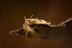 Deux escargots dans l'amour Images stock