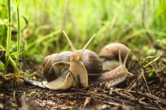 Deux escargots dans l'herbe grande Photographie stock