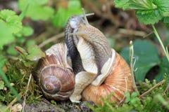 Deux escargots dans la connexion serrée Images stock
