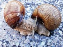 Deux escargots dans le jeu Photo stock