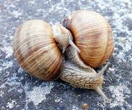 Deux escargots dans le jeu Images stock