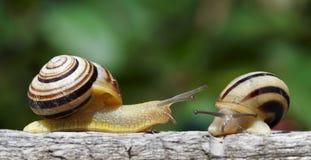 Deux escargots dans un jardin Photographie stock libre de droits