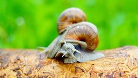 Deux escargots de raisin luttent les uns avec les autres Images stock