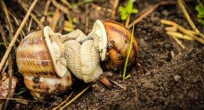 Deux escargots de terre joignant entre l'herbe Photographie stock libre de droits