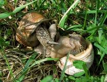 Deux escargots hauts étroits de raisin, faisant l'amour dans l'herbe d'été Photo stock