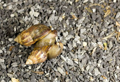 Deux escargots sont dans l'amour sur l'éboulis Image stock